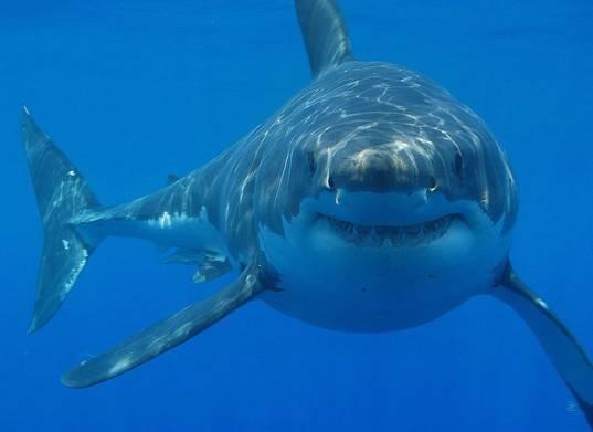Vintage Video :  Il grande squalo bianco  - video del comandante Cousteau