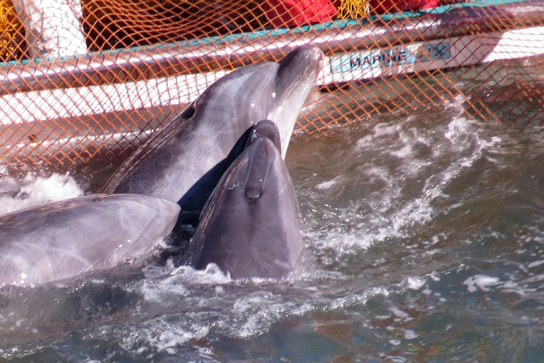 "This handout photo taken on January 19, 2014 by environmentalist group Sea Shepherd Conservation Society shows bottlenose dolphins huddling together at a net as they are taken captive after a superpod of the mammals was driven into a cove in the Japanese town of Taiji. More dolphins are being driven towards the cove in western Japan ready for slaughter, campaigners say on January 22, after bloody killings that were hidden from view behind large tarpaulin sheets. Some of the prettier animals are removed and sold to aquariums while others are butchered for meat, which is consumed in a small number of coastal communities. The mass slaughter of the animals came to worldwide attention with the Oscar-winning film The Cove, which showed how the fishermen of Taiji corral dolphin pods in the bay. AFP PHOTO / MANDATORY CREDIT: ""Sea Shepherd Conservation Society ----EDITORS NOTE ----RESTRICTED TO EDITORIAL USE - AFP PHOTO / MANDATORY CREDIT: ""Sea Shepherd Conservation Society"" - NO MARKETING - NO ADVERTISING CAMPAIGNS - DISTRIBUTED AS A SERVICE TO CLIENTS - NO ARCHIVES"