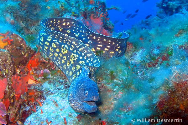 La murena - moray eel