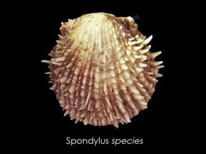 spondlius species