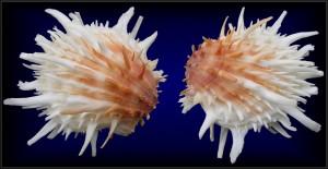 Malacologia: Spondylidae, questi sconosciuti di Michele Dardano e Pamela Baiocchi