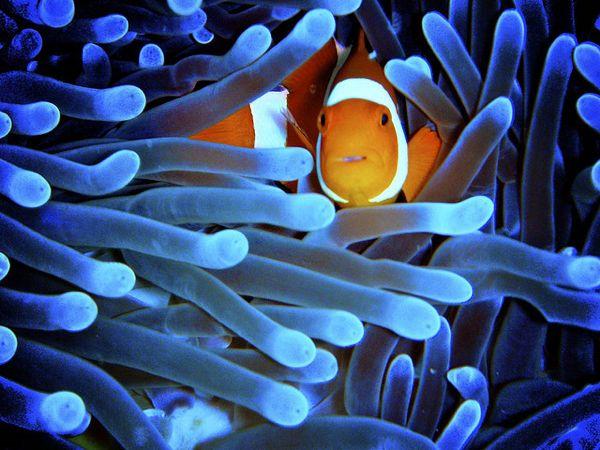 Pesce Pagliaccio E Anemone.Finding Nemo Il Pesce Pagliaccio Questo Sconosciuto Ocean 4 Future