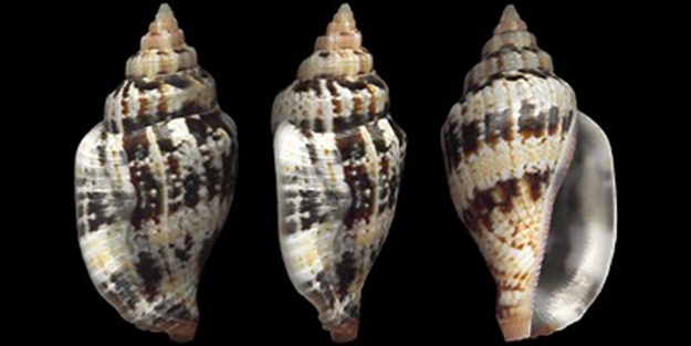 Canarium mutabilis (Swainson, 1821). Misura media 30 mm (average 30 mm)