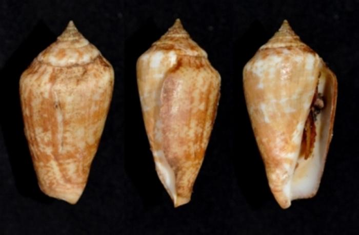 Conomurex persicus ( Swainson, 1821)