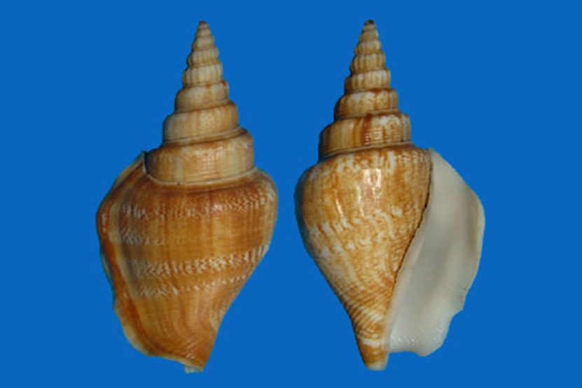 Doxander vittatus vittatus ( Linnaeus,1758). Misura media 60 mm ( Average 60mm)
