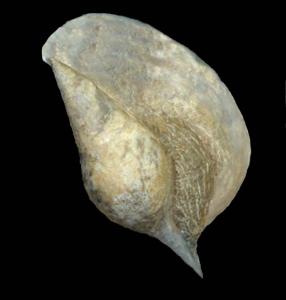 Hippochrenes amplus lavacillensis (De Gregorio, 1894)-Photo courtesy Mr M.Lupato