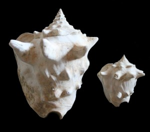coronatus 152 mm e var. perspinosonana 67 mm Pliocene