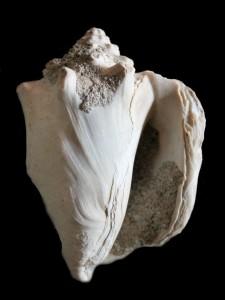 latus Pleistocene Spagna 83 mm