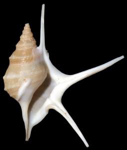 pesgallinae 39 mm