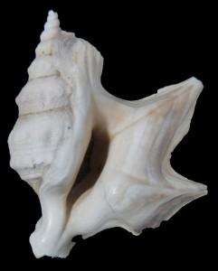 pespelecani creantulina a sin. 32 mm a ds. 31 mm
