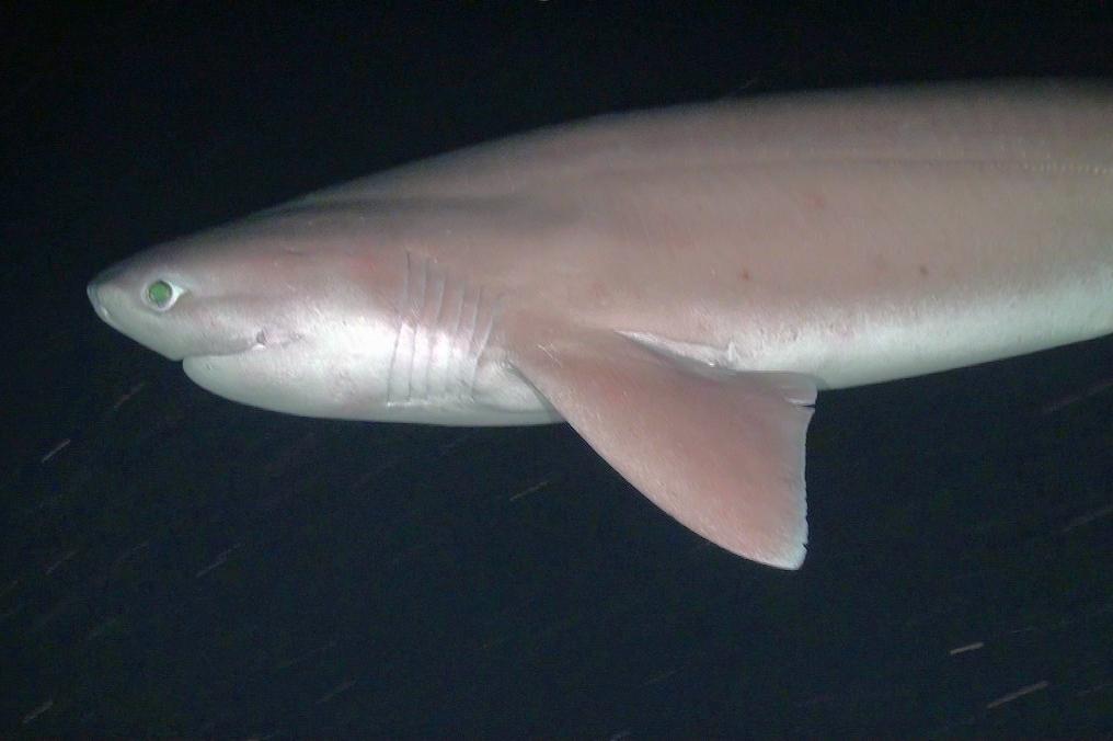 Spiaggiamento di uno squalo capopiatto (Hexanchus griseus) nei pressi di Marina di Grosseto