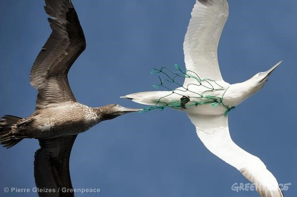 Sea birds, one with a piece of plastic fishing net stuck around its neck. 20 miles off the coast of Mauritania. Greenpeace is campaigning in West Africa for the establishment of a sustainable, low impact fisheries policy that takes into account the needs and interests of small-scale fishermen and the local communities that depend on healthy oceans.