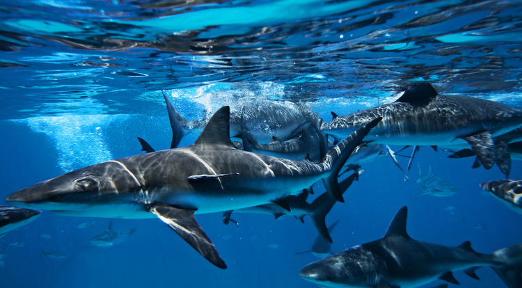 Sharks_2845
