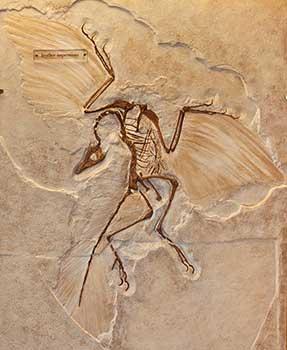 archaeroptrix