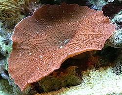 250px-discosoma-sp-corallimorpharia