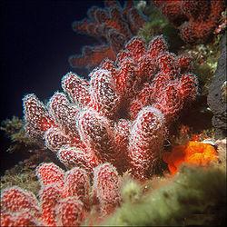 250px-palmatum