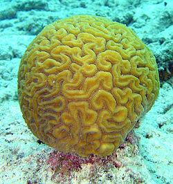 250px-scleractinia-diploria-labyrinthiformis-brain_coral