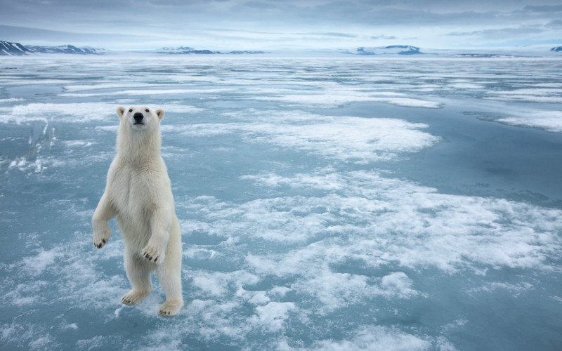 Polar Bear, Nordauslandet, Svalbard, Norway
