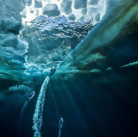 Un pinguino imperatore visto da sott'acqua ... formidabili nuotatori necessitano della banchisa per vivere .. anche la loro specie è a rischio