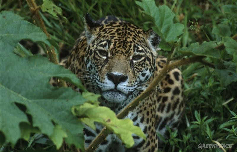 Shots of various animals taken in the Amazon as part of the Forests Campaign. In this image, close-up of a jaguar (Panthera Onca) walking through bushes.
