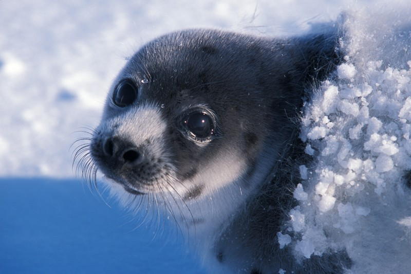 foca-artcia
