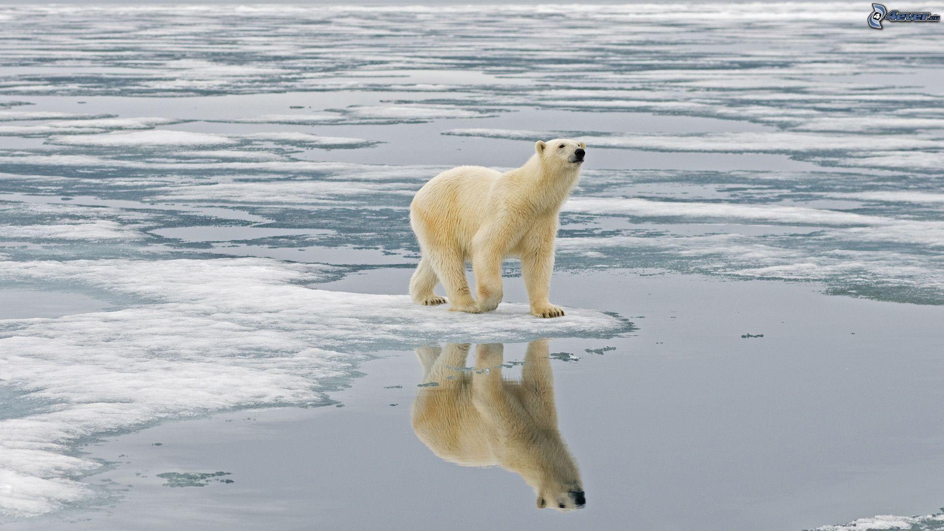 orso-polare-lastre-di-ghiaccio-173021
