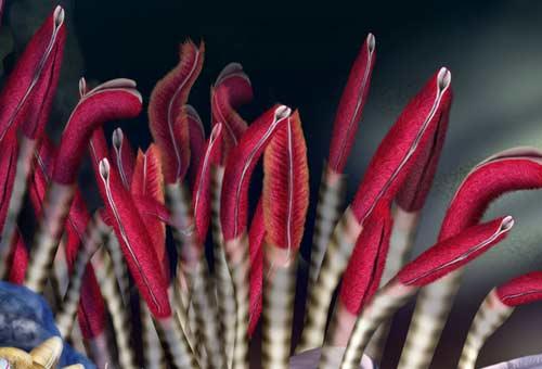 riftia-pachyptila-tubeworm