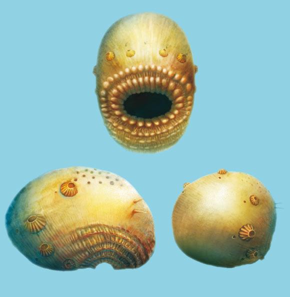Scoperto il Saccorhytus, il più antico antenato conosciuto