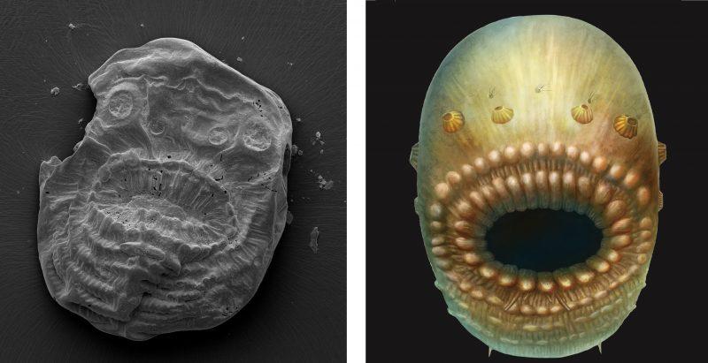 Biologia: Scoperto il Saccorhytus, il più antico antenato conosciuto degli esseri umani
