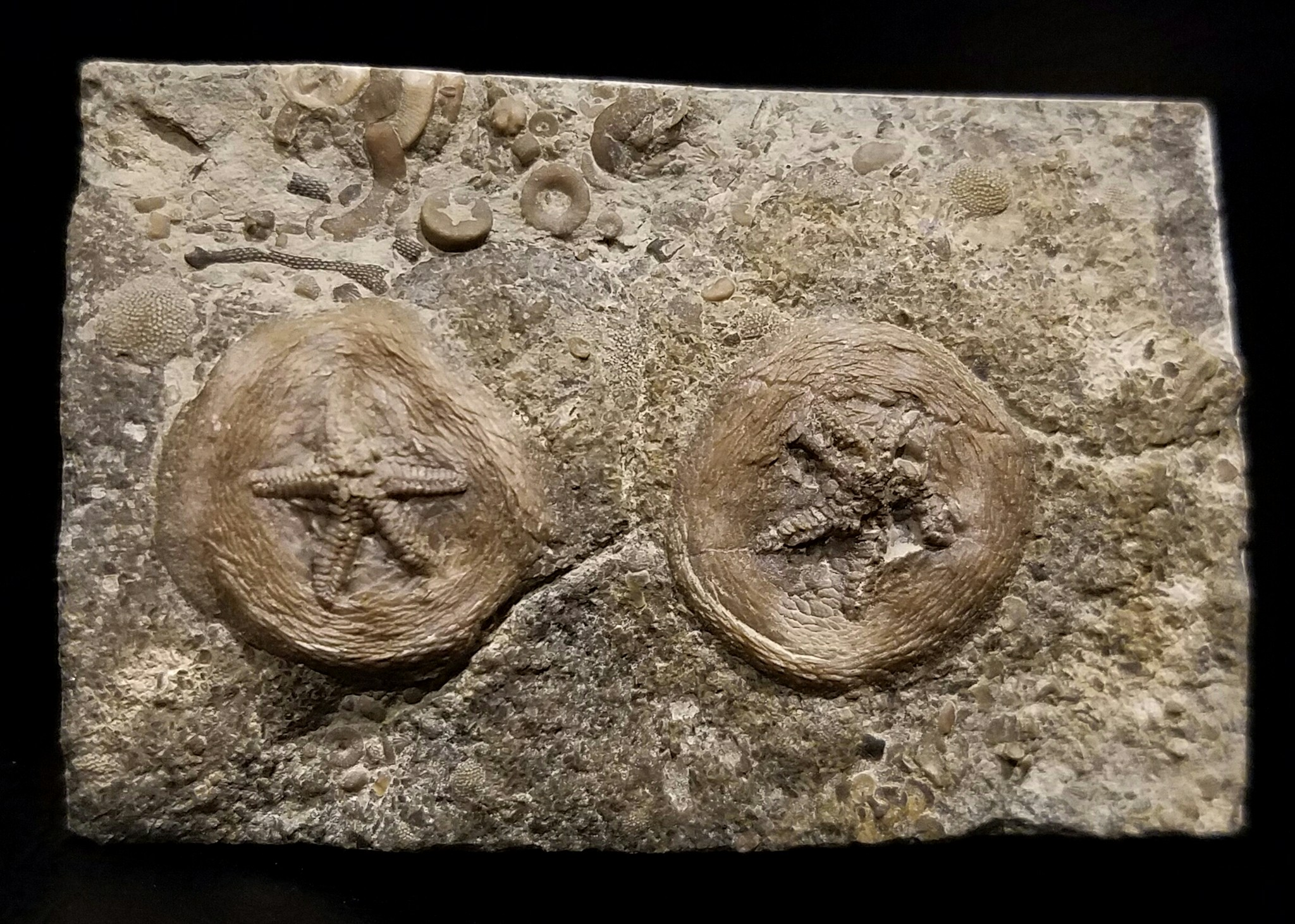 Cryptogoleus chapmani, Verulam Formation, Gamebridge, Ontario, Canada (Ordovician) – 17 mm, each.