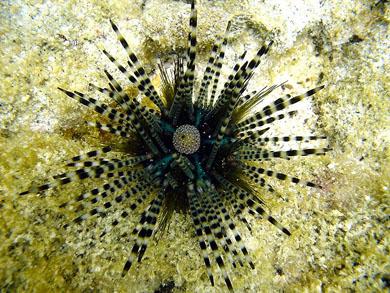 I ricci di mare ... da milioni di anni nei mari del pianeta