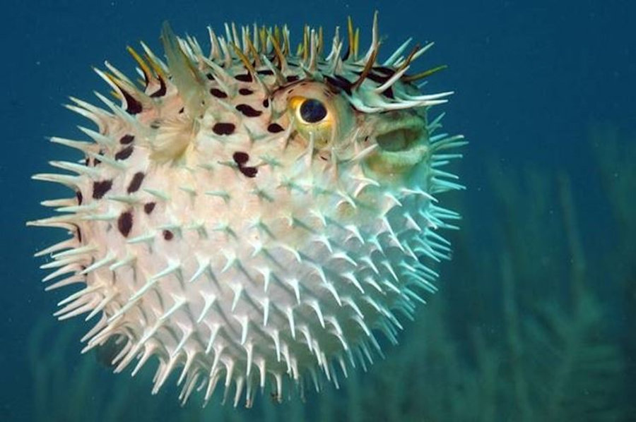 Il pesce palla è arrivato nelle nostre acque, cosa fare in caso di avvistamento e pesca