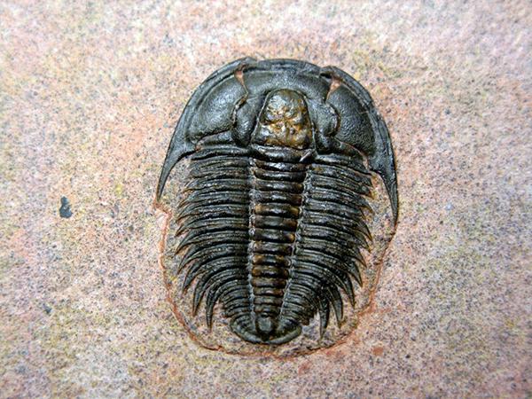 trilobiti2
