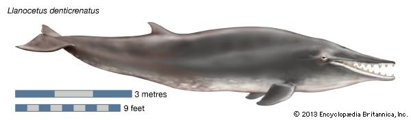 llanocetus