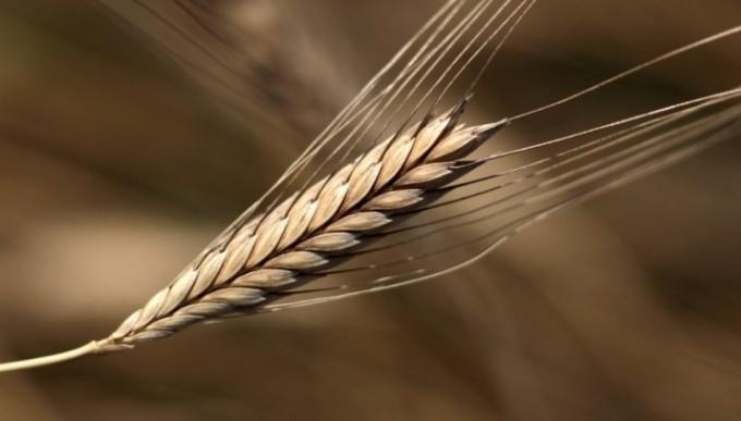 einkorn-wheat1-e1351782668239-680x387