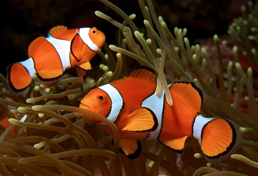 Finding Nemo, il pesce pagliaccio questo sconosciuto