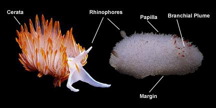 Nudibranch Anatomy