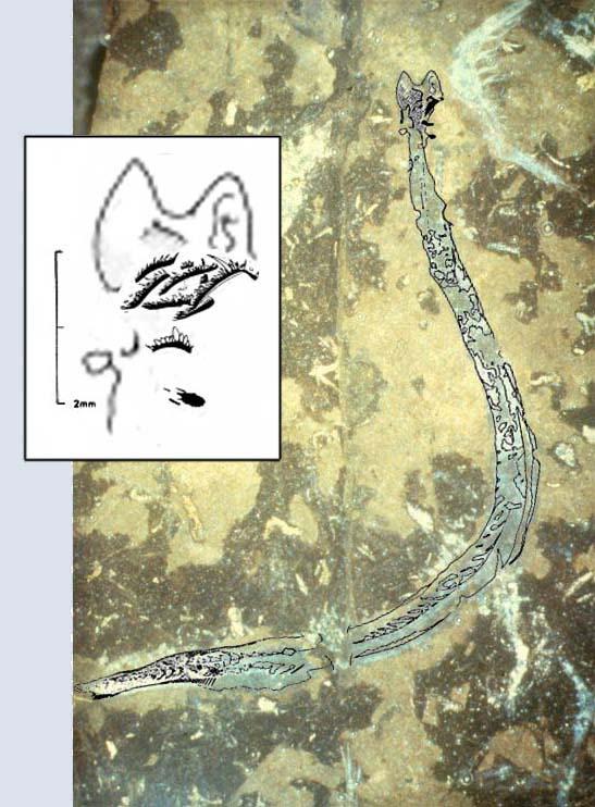 conodont combo