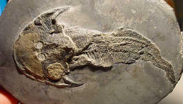 I pesci senza mascelle, gli ultimi Agnati  - parte II di Aaronne Colagrossi