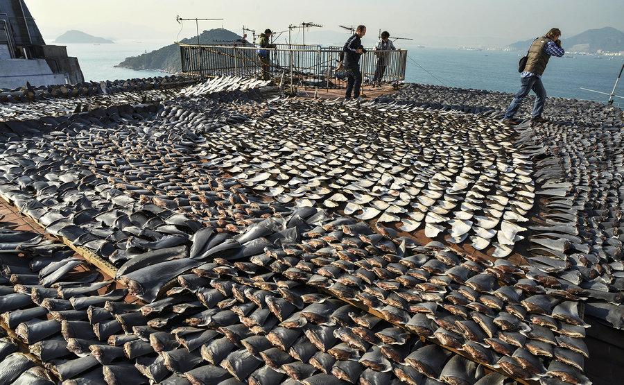 Shark finning ... un'atrocità senza senso che continua nonostante tutto