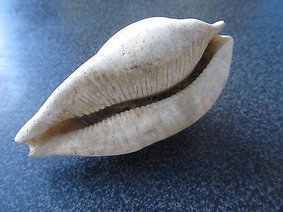 umbilia
