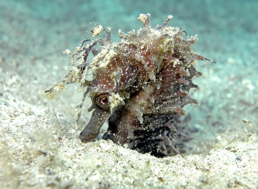 Recensione atlante e flora del mediterraneo di egidio for Immagini cavalluccio marino