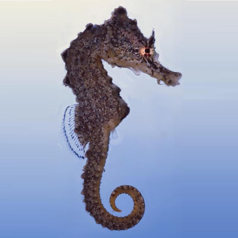Giraffe-Seahorse-hippocampus-camelopardalis_pheemstra01