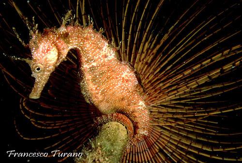 Miti e curiosità sui cavallucci marini di Andrea Mucedola