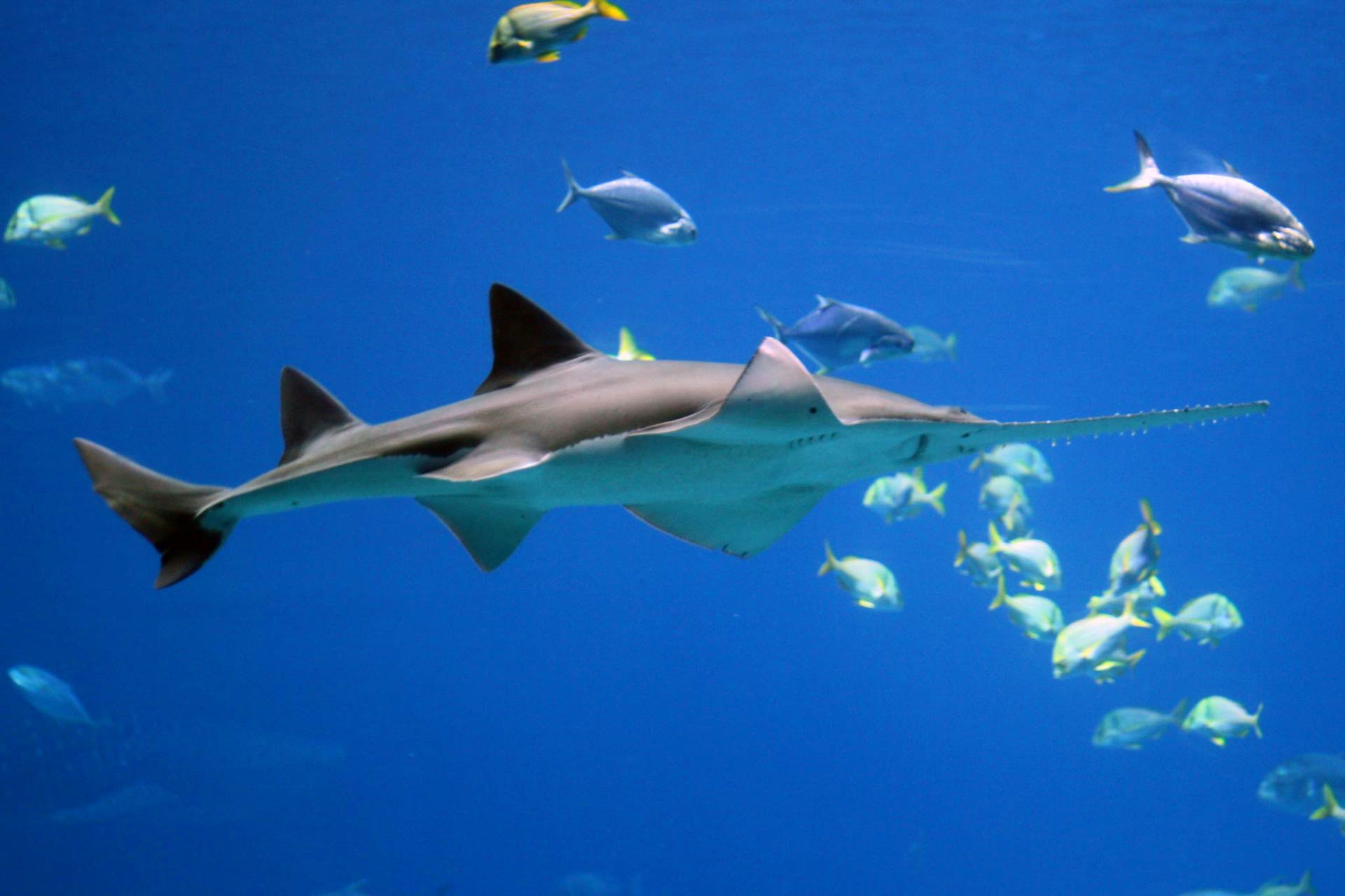 image_2863e-Smalltooth-Sawfish