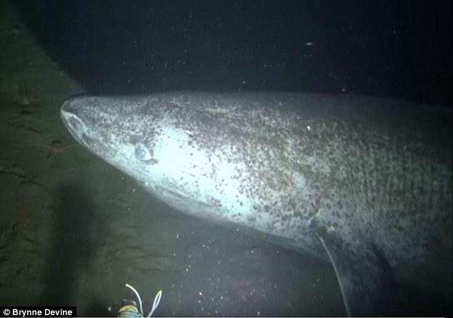 Dalle fredde e buie acque dell'Oceano Artico canadese, ecco lo squalo della Groenlandia di Andrea Mucedola
