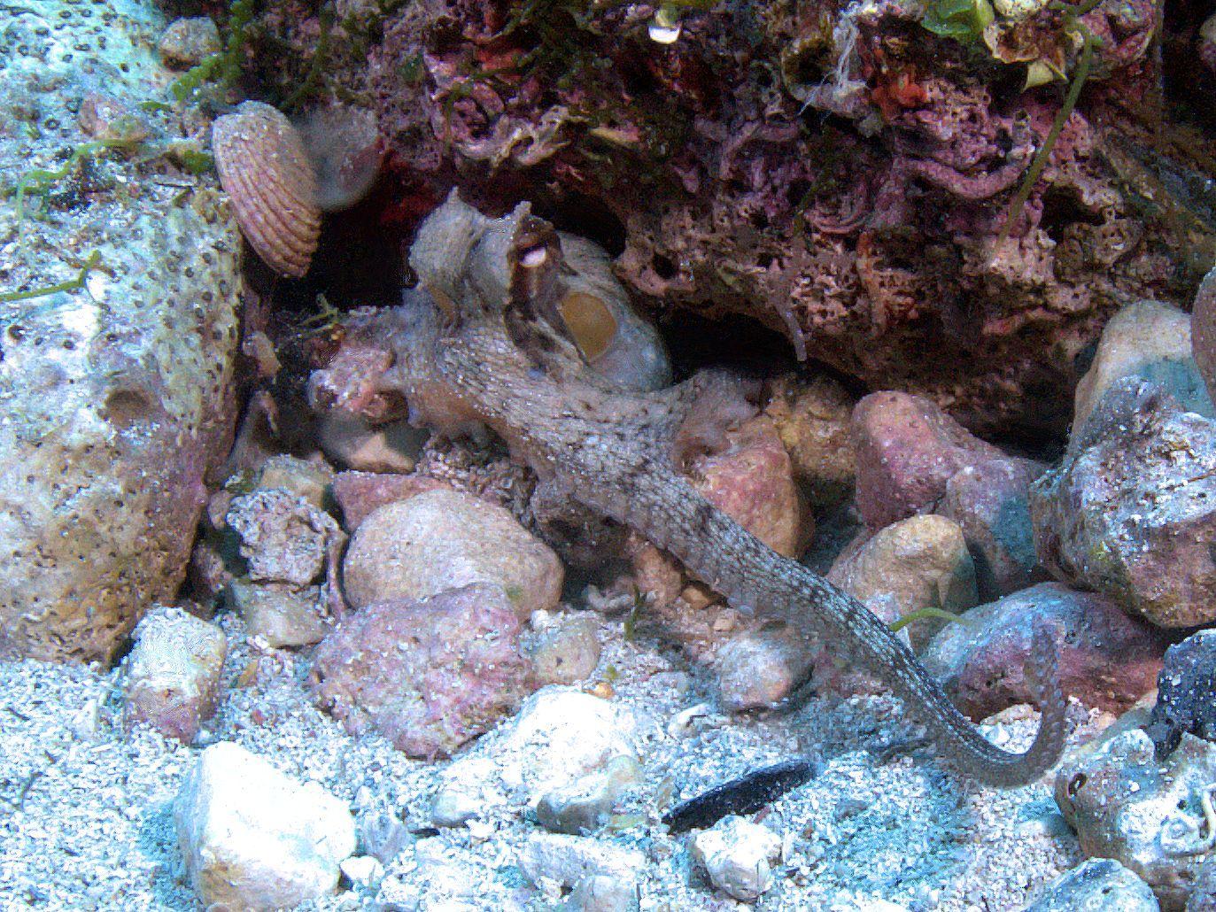 Cefalopodi ... sulla Terra da oltre 500 milioni di anni ma non lo dimostrano