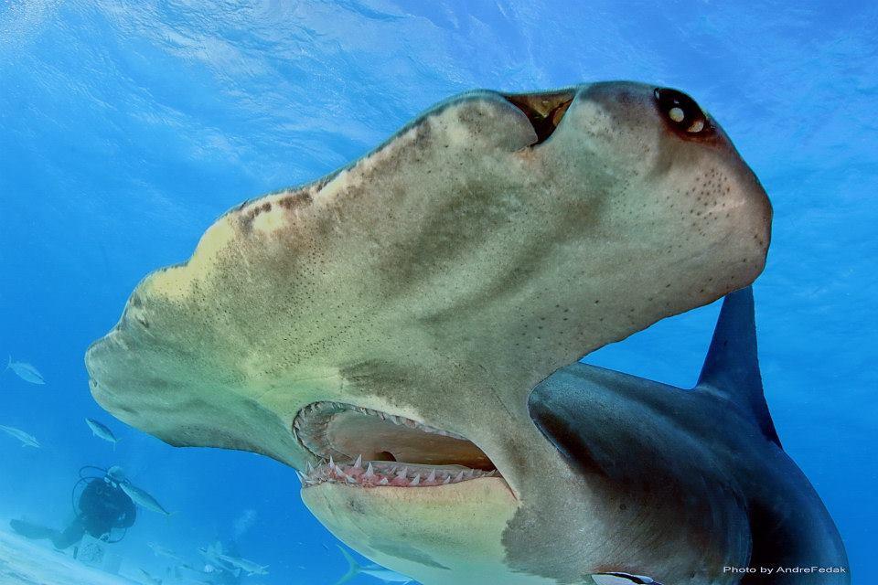 Uno squalo inconfondibile, il martello