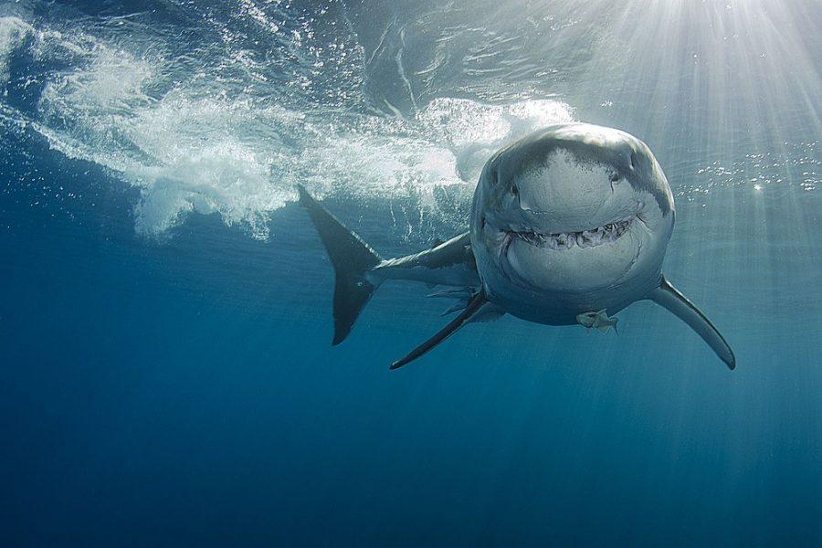 Mar Mediterraneo, contro la mattanza silenziosa degli squali  di WWF Italia