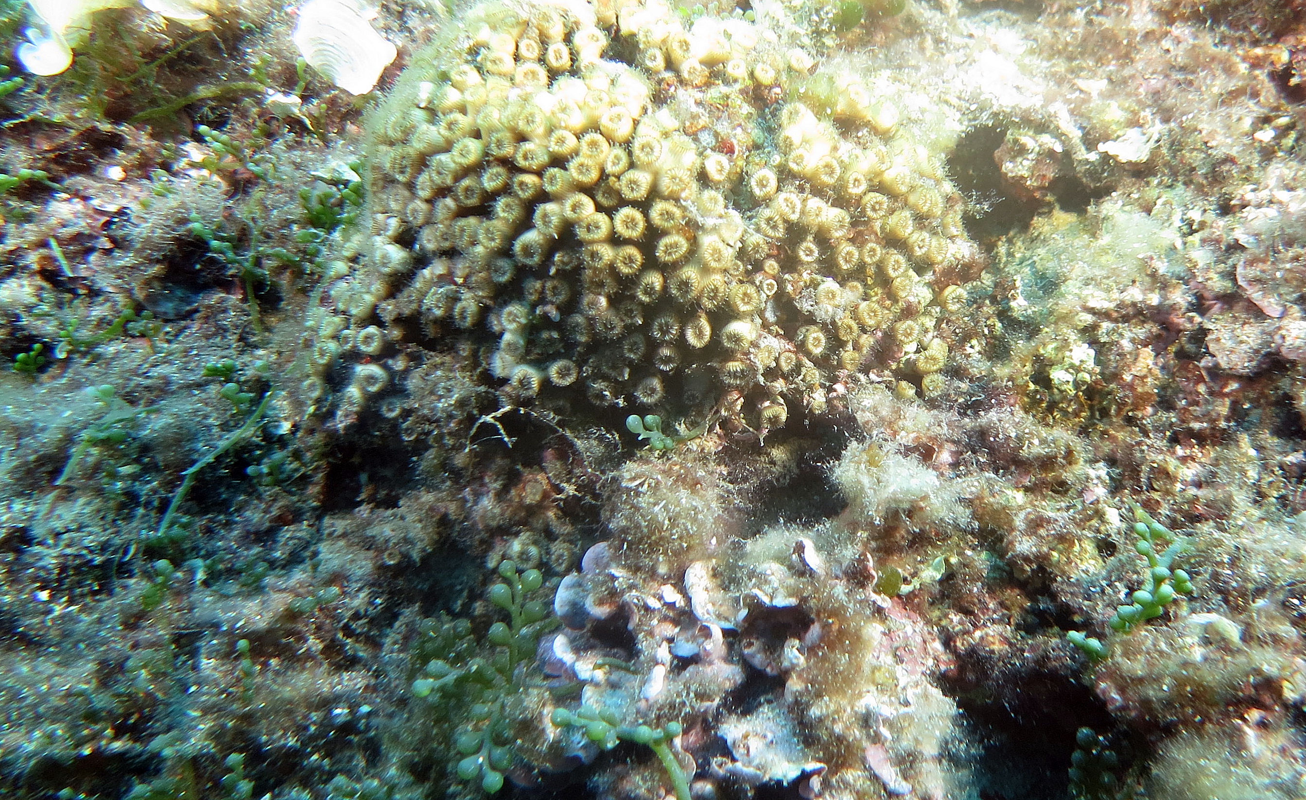 Scoperto un fenomeno di rigenerazione nei coralli mediterranei. Una speranza per il futuro? di Andrea Mucedola